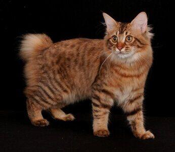 Американский бобтейл кошка (ABT)