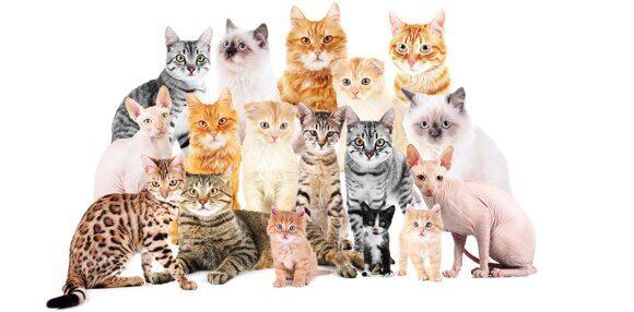 Фото к статье - разные породы кошек